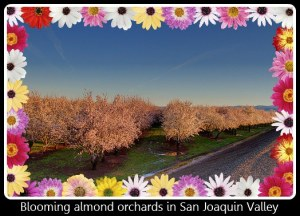 Almond Orchards Blooming in the San Joaquin Valley